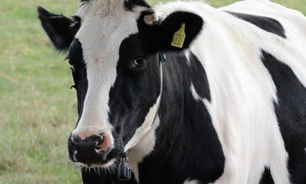 Por el cierre de tambos, advierten que la Argentina podría importar leche